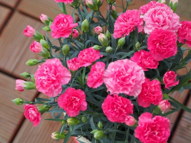 母の日カーネーション鉢植え640480